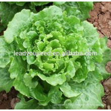 MLT04 Daliang early maturity chinese lettuce vegetable seeds company